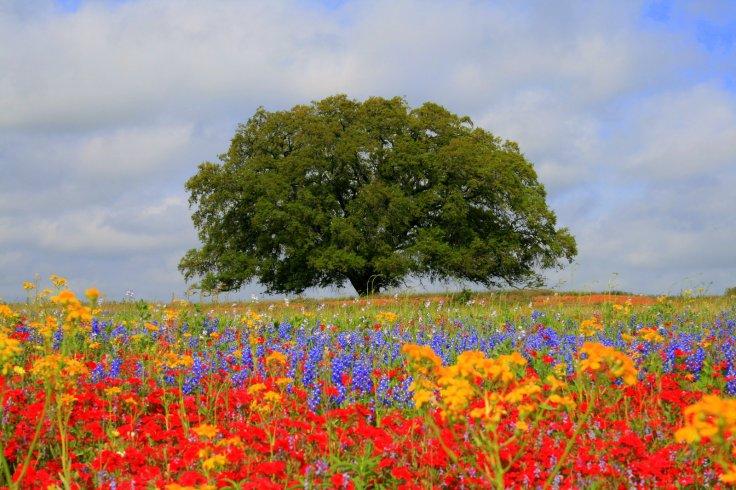 Lone_Oak_and_Wildflowers_by_vvvfotoguy