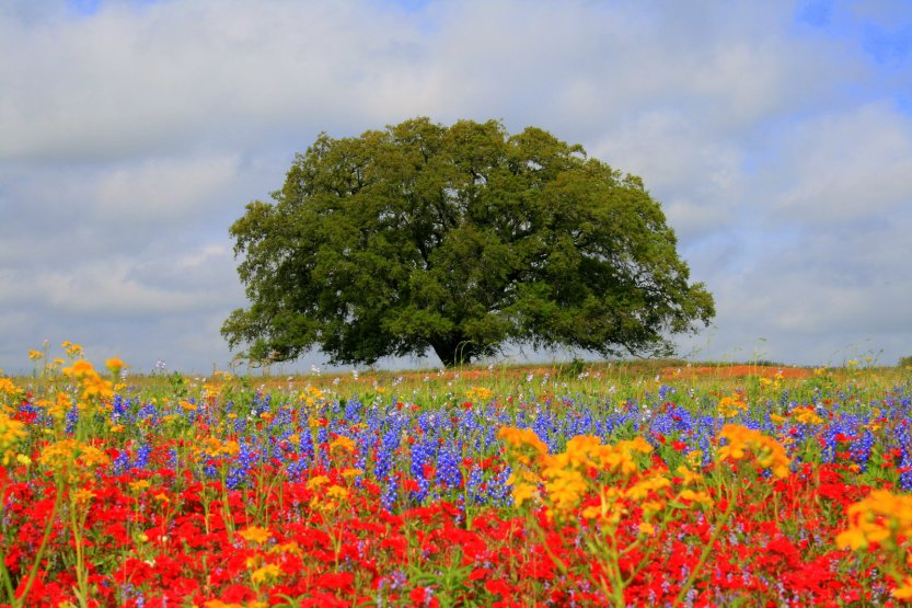 Lone_Oak_and_Wildflowers_by_vvvfotoguy